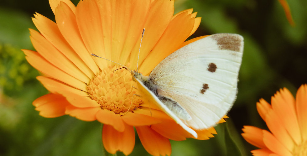 Flowers- Calendula