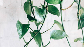 Indoor air purifying house plants that cleanse the air