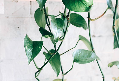 plante nature oxygène grimpante