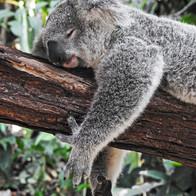 Koala spotting
