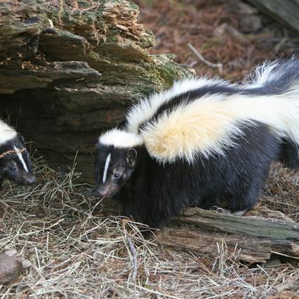 Skunks!!