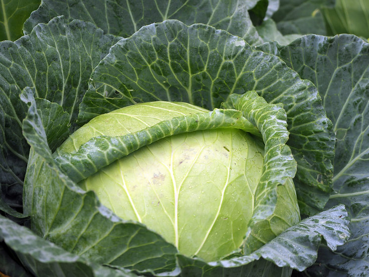 WHOLE Cabbage Green