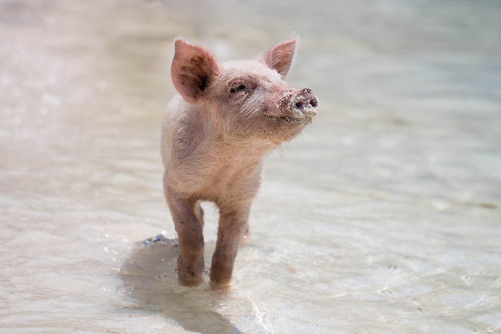 Image of a piglet in water