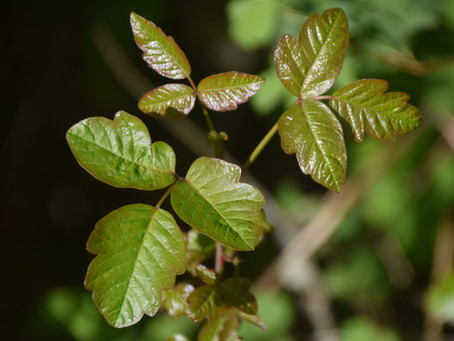 """""""Fun"""" Facts about Poison Oak, Ivy, and Sumac"""