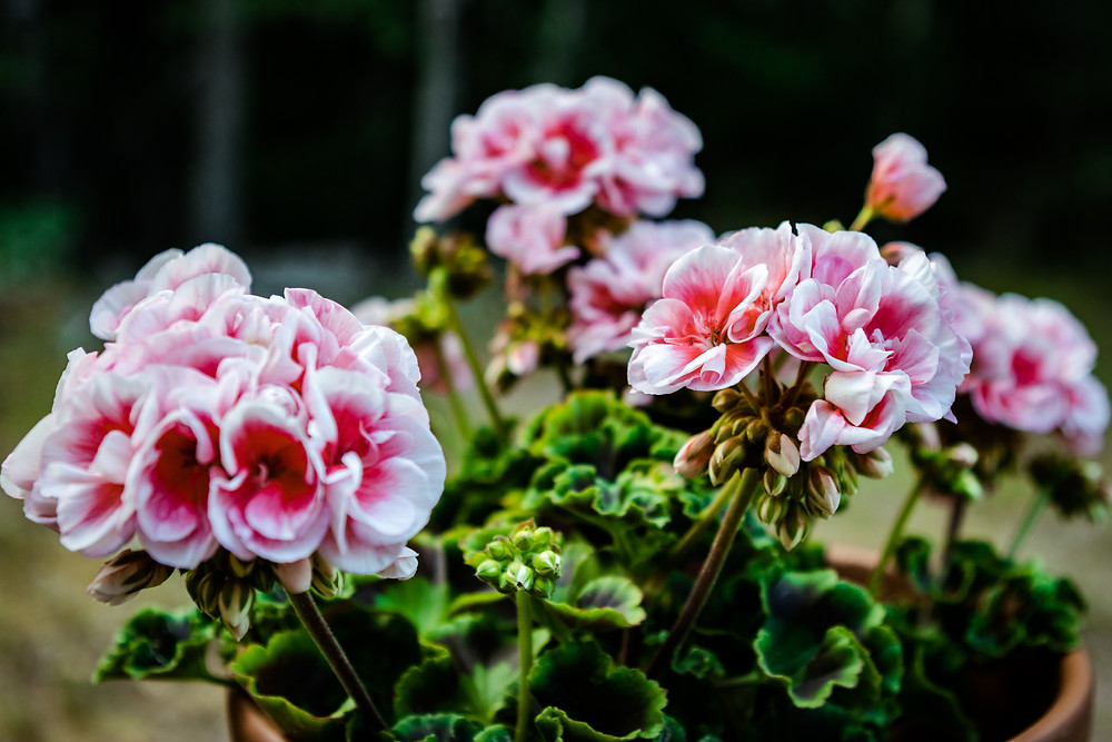 White and Pink Geraniums