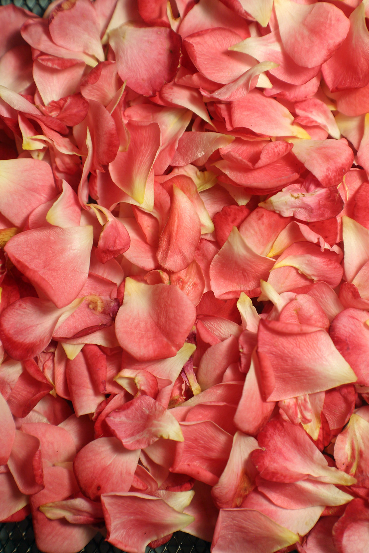 Rose Petals at Mustard Seed Sentinel