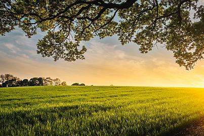 Sunset over a fiel Benjamin Davies ad oak tree by