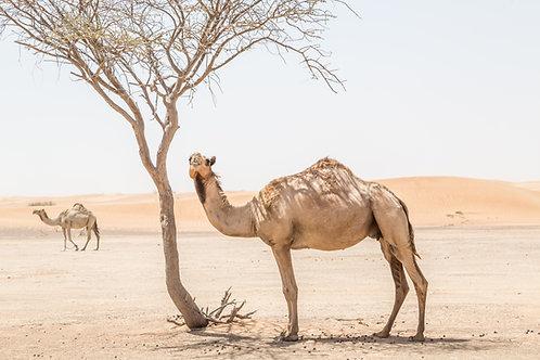 Saudi Arabia (Mecca) - Camel (1 Part)
