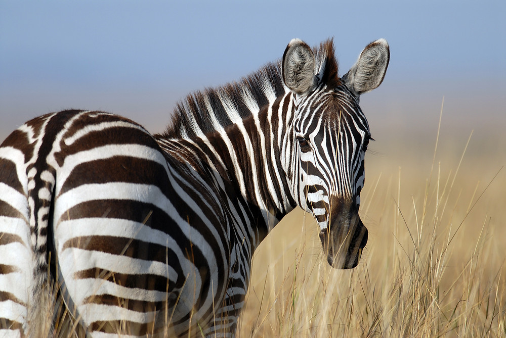 zebra looking at camera