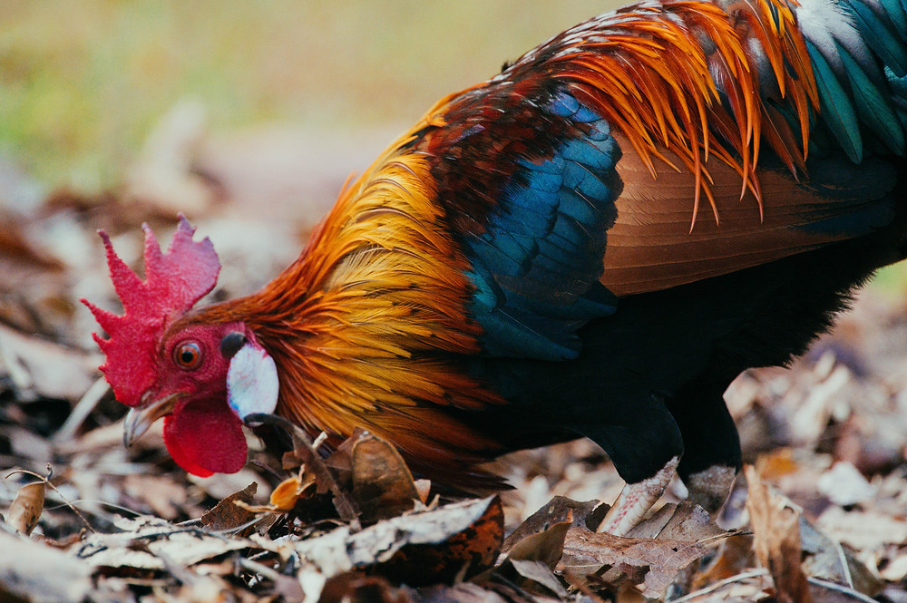 Bantam rooster searches through dried fall leaves