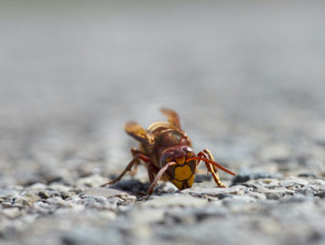 How Dangerous Are Hornets In West Phoenix?