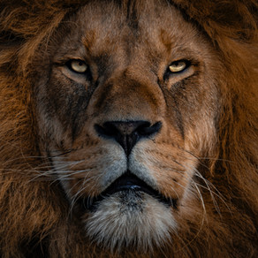 Communication animale intuitive : message du Lion.