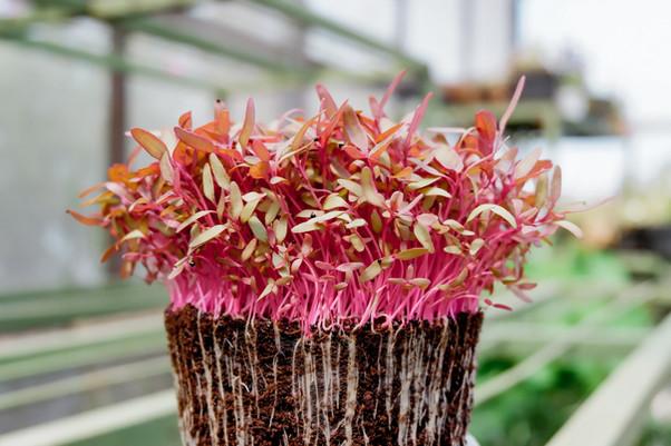 amaranthus microgreen   amaranth