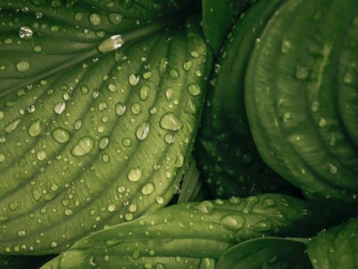 Genetics of the Longest Living Plant Revealed