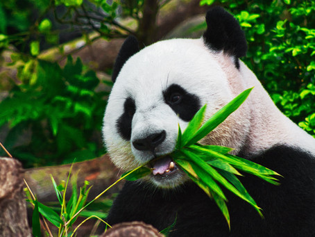 3 Common Myths About Pandas