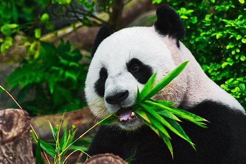 Pandas: Habitat, Prey, and Behaviors
