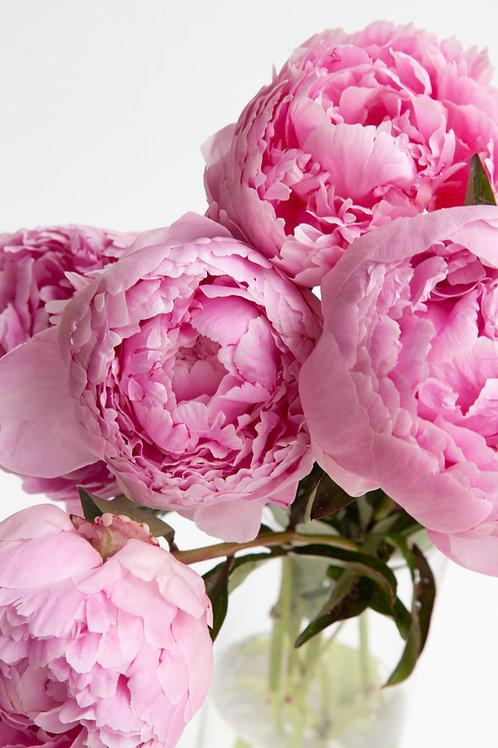 Pink Peony (10 Stems)