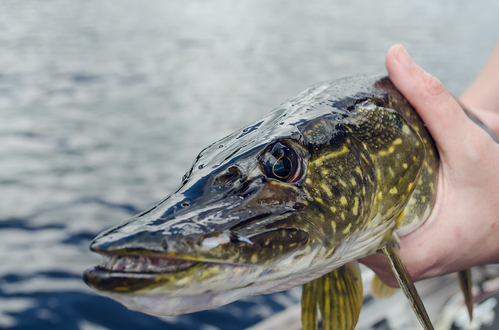 Holding a Canadian Pike