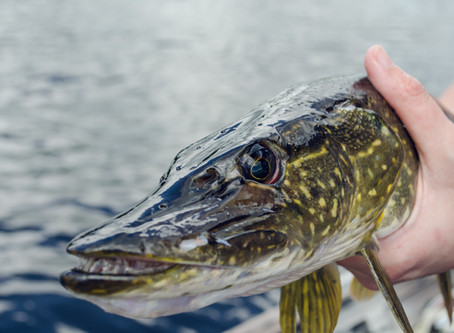 Fishing Those Killer Northern Pike Fish Year Round