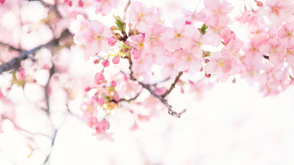 Kyoto's earliest cherry blossom in 1,200 years point to climate change