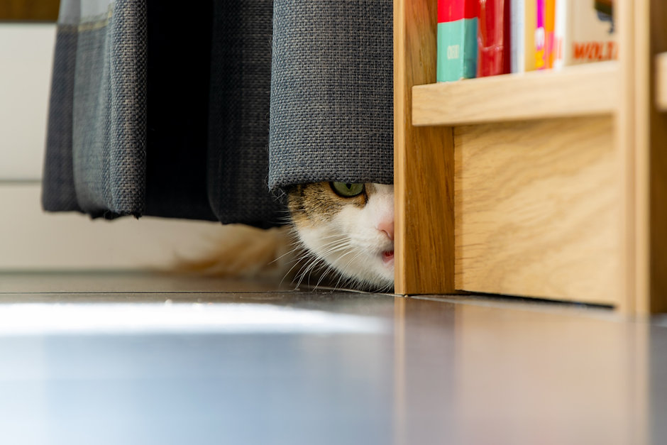 Worried, anxious, frightened cat hiding behind a curtain