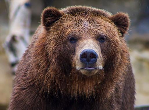 Un ours cambrioleur en Ontario