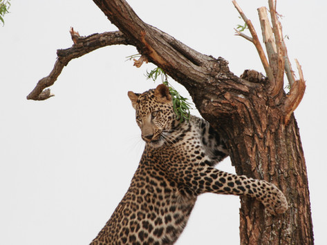 Smell you later: scent marking in the African leopard