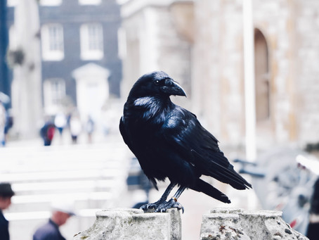 As the Crows Caw