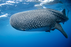 Whale Shark in Mexico by NOAA