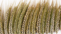 Global Grain Stocks Expected to Hit Five-Year Low At End of 2020/21 MY