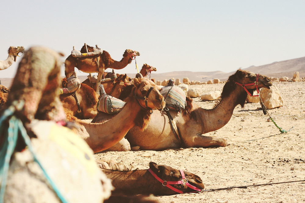 A small group of camels with harnesses resting on the ground in the desert.