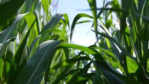 Corn in Pickaway County
