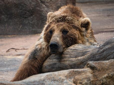 Bears hibernate, Myth or Fact?
