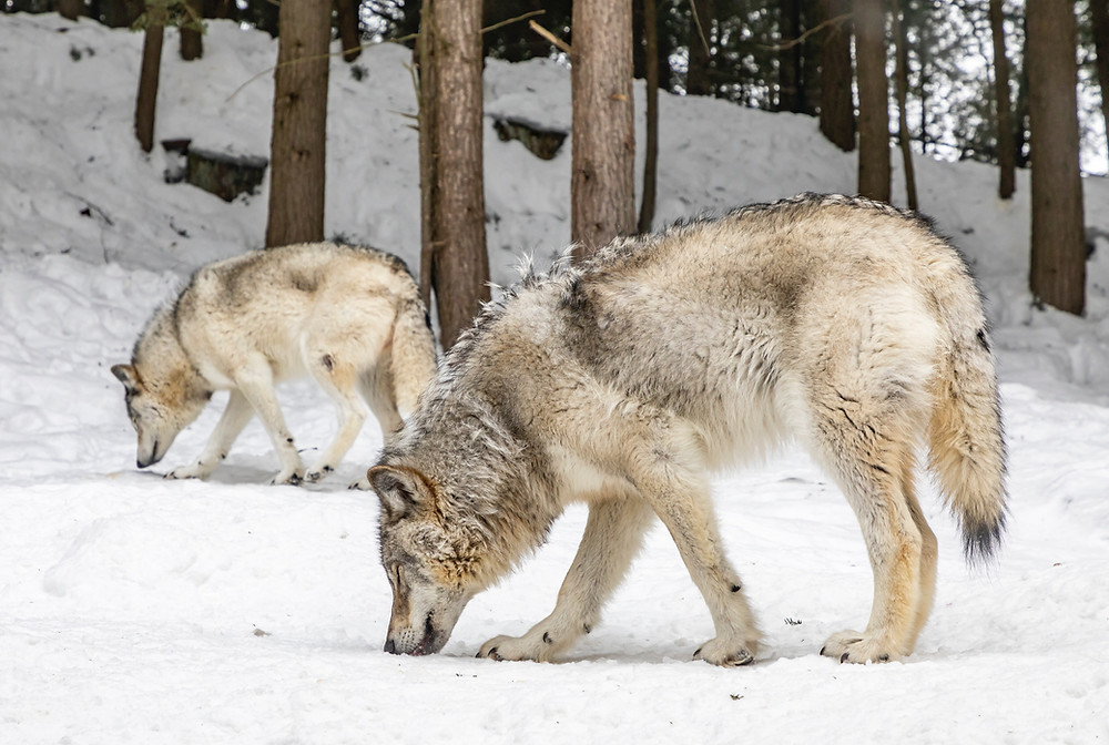 Wolves have thick and harsh double coats to keep them warm.