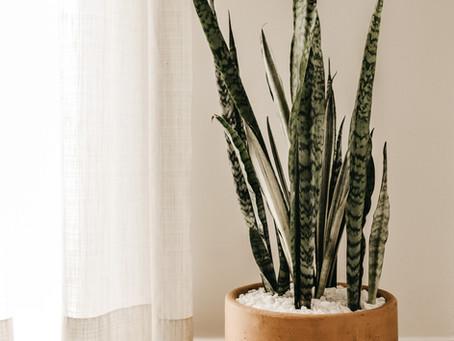 Plant Spotlight: Snake Plant