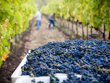 Überfluss an Trauben in den Weinbergen der Champagne!