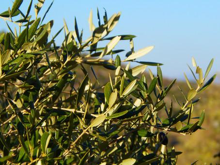 Dietro le quinte dell'olio extravergine di oliva di Toscana