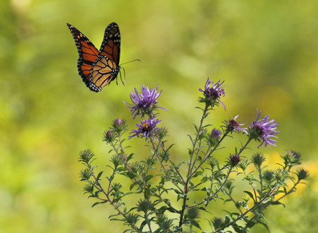 Why Do Monarchs Migrate?
