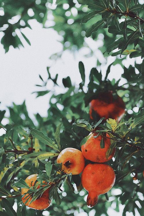 Wonderful PomegranateTree