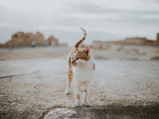 Not all cats who wander are lost