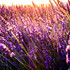 Lavender - time to relax?