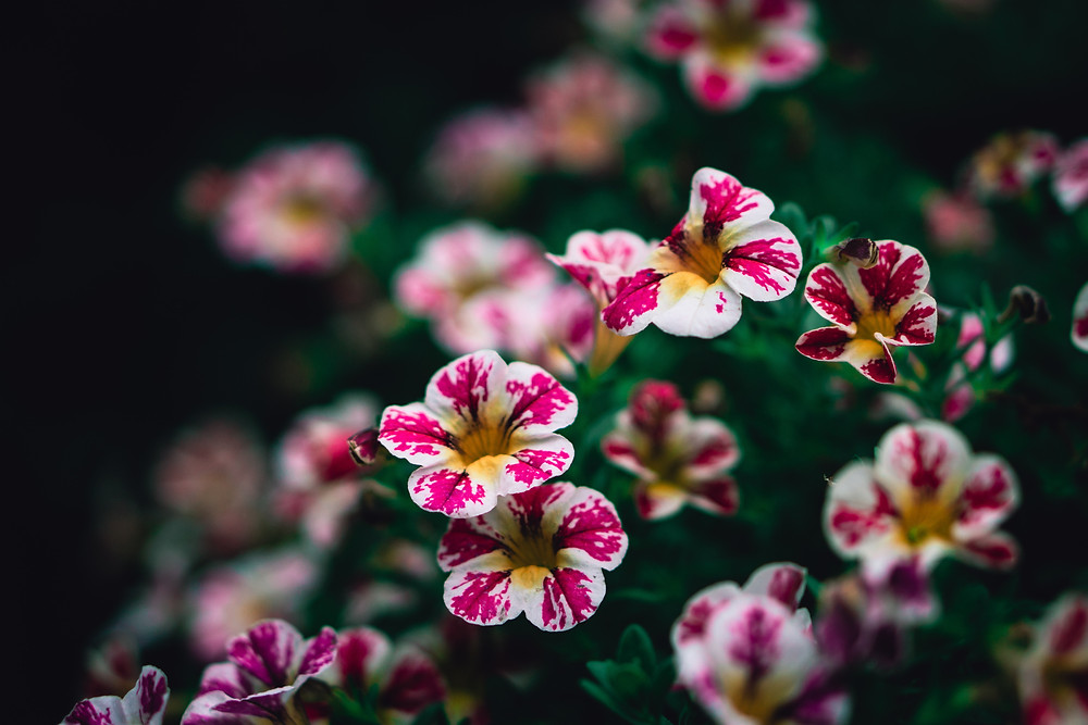 White and Pink Calibrachoa