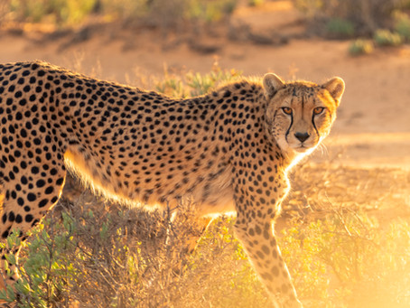 4 Productivity Lessons from Cheetahs