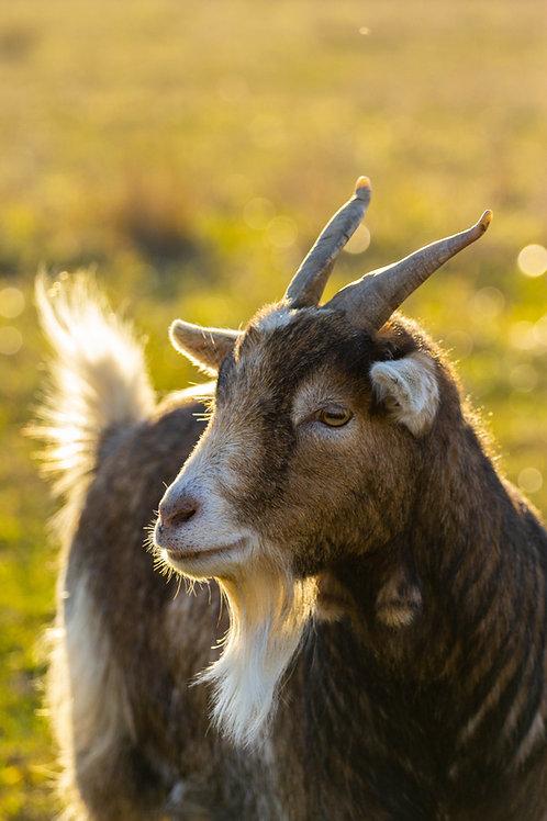 Philippines - Goat