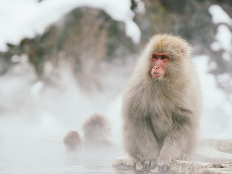 How to visit the Japanese snow monkeys