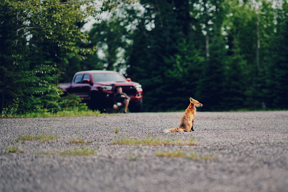 Car and fox