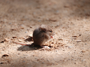 Four Helpful Rodent Prevention Tips For Phoenix Homeowners