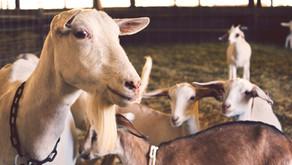 Goat Farming:बकरी पालन से कैसे कमायें