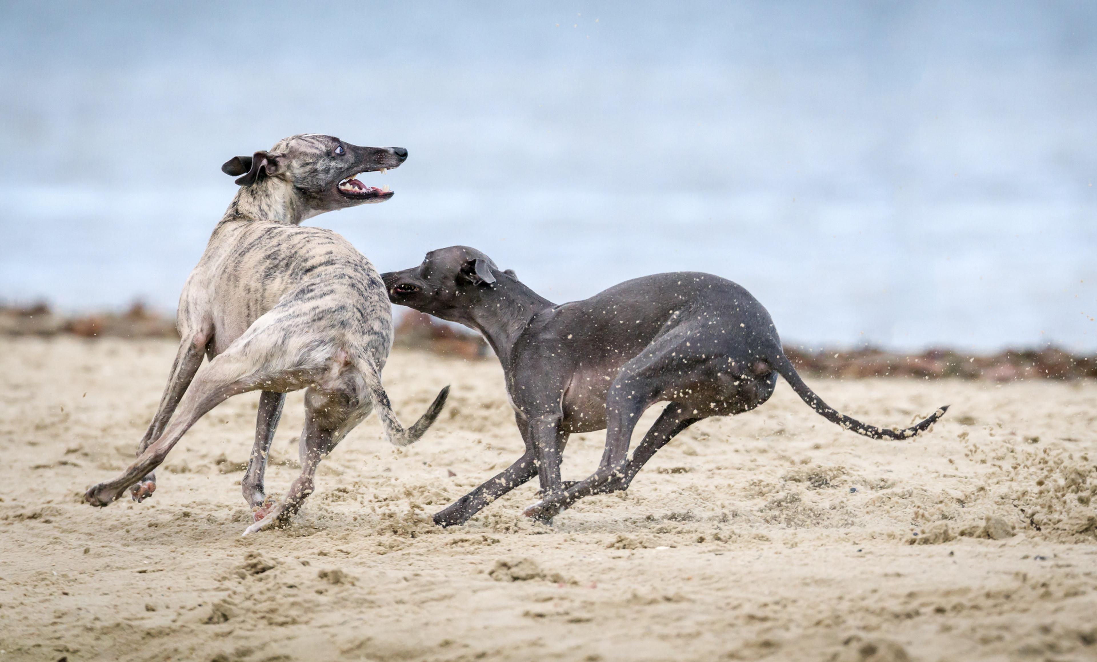 Sighthound Playdate Event