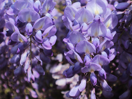 The Best Places for Wisteria Hysteria in London - Angel